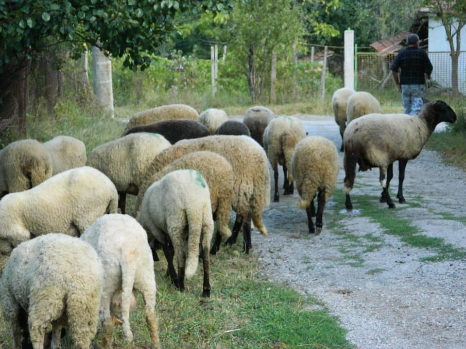 овце-959x720